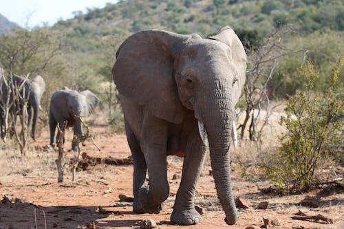 Ilmainen kuvapankkikuva tunnisteilla afrikkalainen norsu