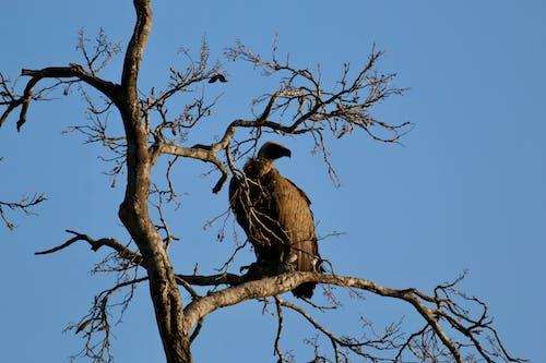 Ilmainen kuvapankkikuva tunnisteilla korppikotka, lintu
