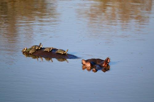 Ilmainen kuvapankkikuva tunnisteilla kilpikonnat, virtahepo, ystävällinen virtahepo