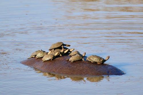 Ilmainen kuvapankkikuva tunnisteilla kilpikonnat, kilpikonnat hippolla, virtahepo