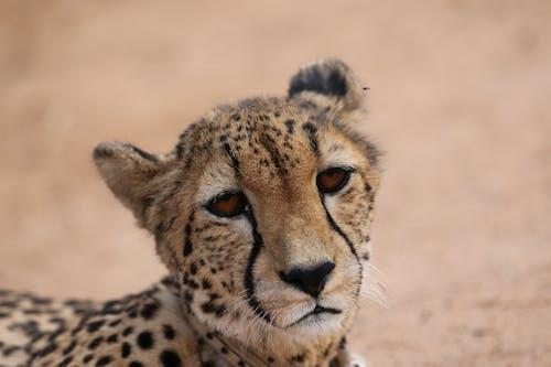 Ilmainen kuvapankkikuva tunnisteilla gepardi, lähikuva cheetah