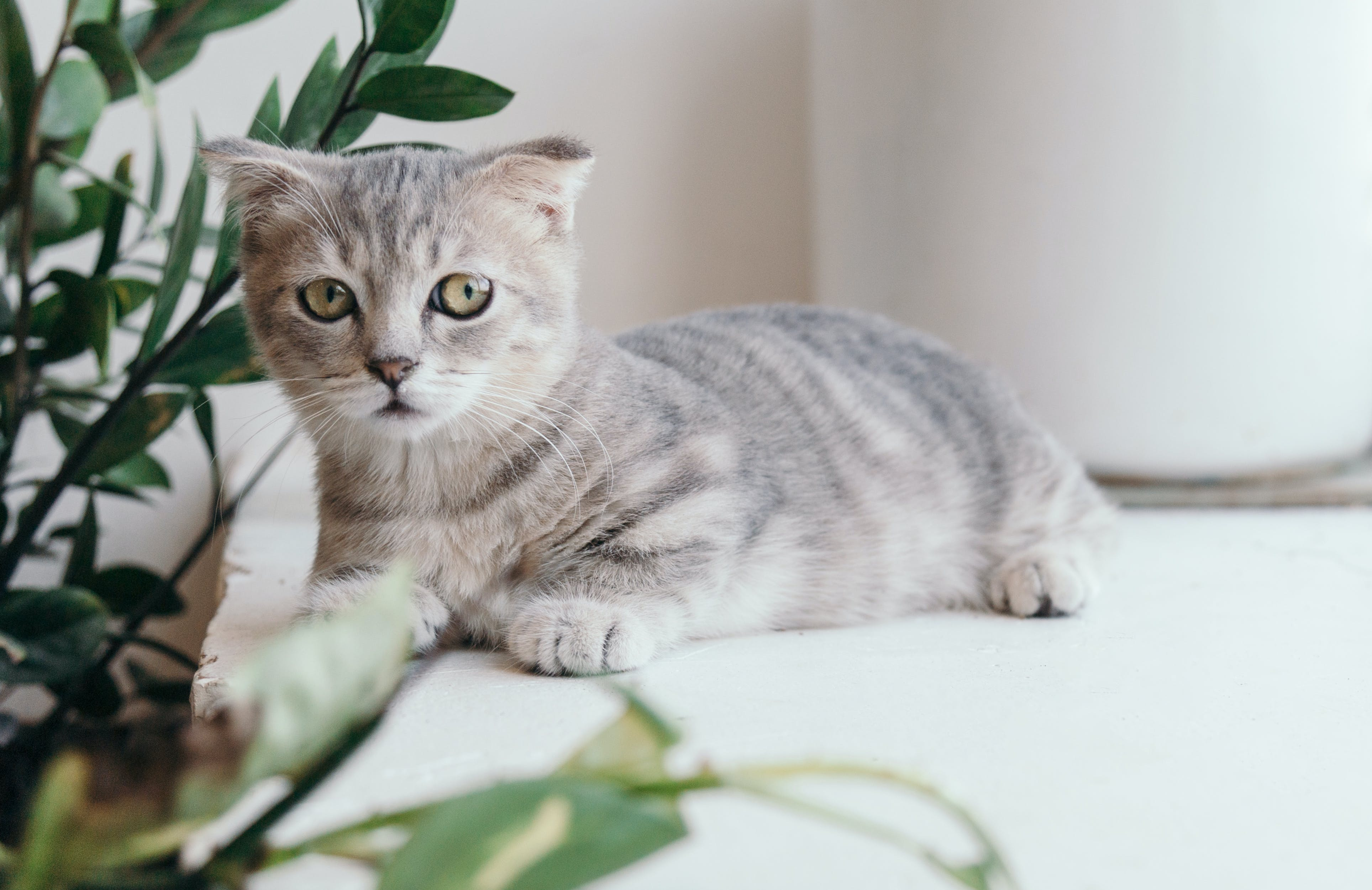 Základová fotografie zdarma na téma dívání, domácí mazlíček, kočičí obličej, kočka