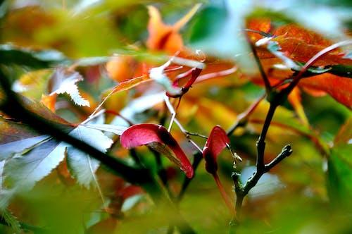 Бесплатное стоковое фото с красочный, лист, листья, осенний