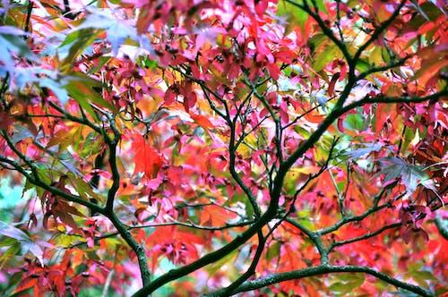 Бесплатное стоковое фото с деревья, красочный, лист, листья