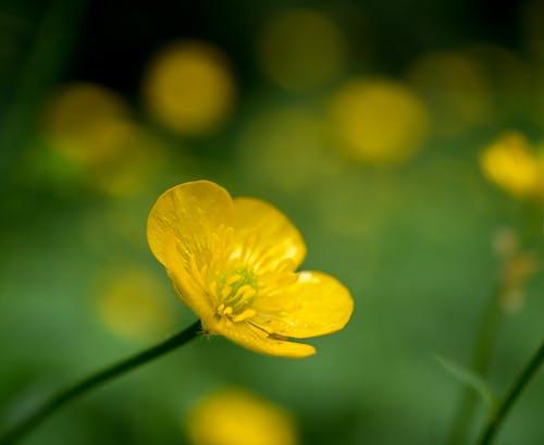 Free stock photo of BUtterCup, flora, flower, grass
