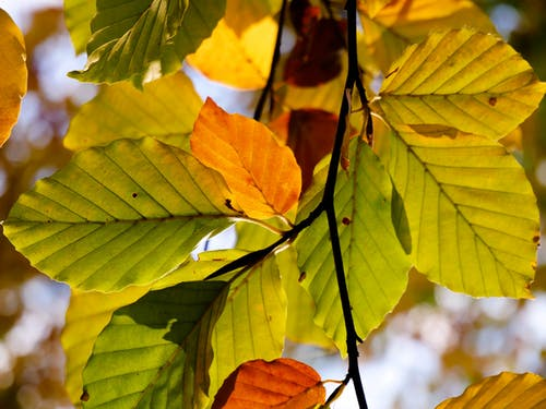 Free stock photo of autumn, beech, branch