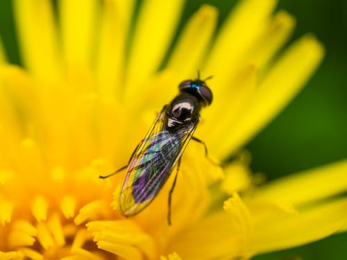 Free stock photo of dandelion, flower, fly