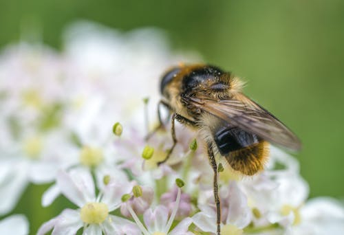 Free stock photo of bee, flower, fly
