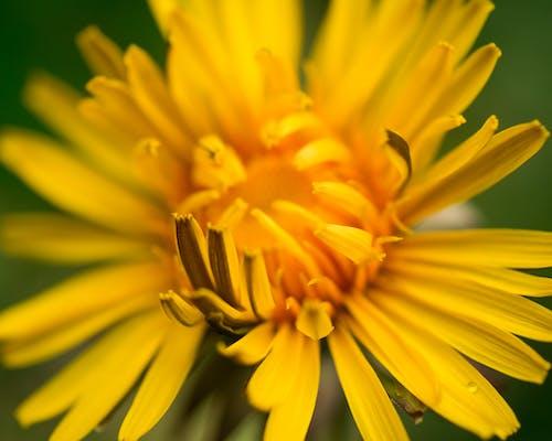 Free stock photo of asteraceae, dandelion, flower