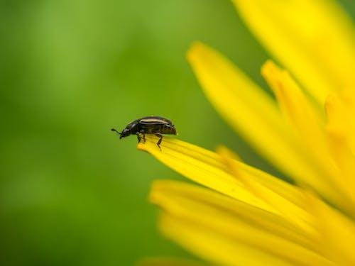 Бесплатное стоковое фото с beetle, meligethes, жук пыльца, лето