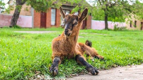 可愛的動物, 山羊 的 免費圖庫相片