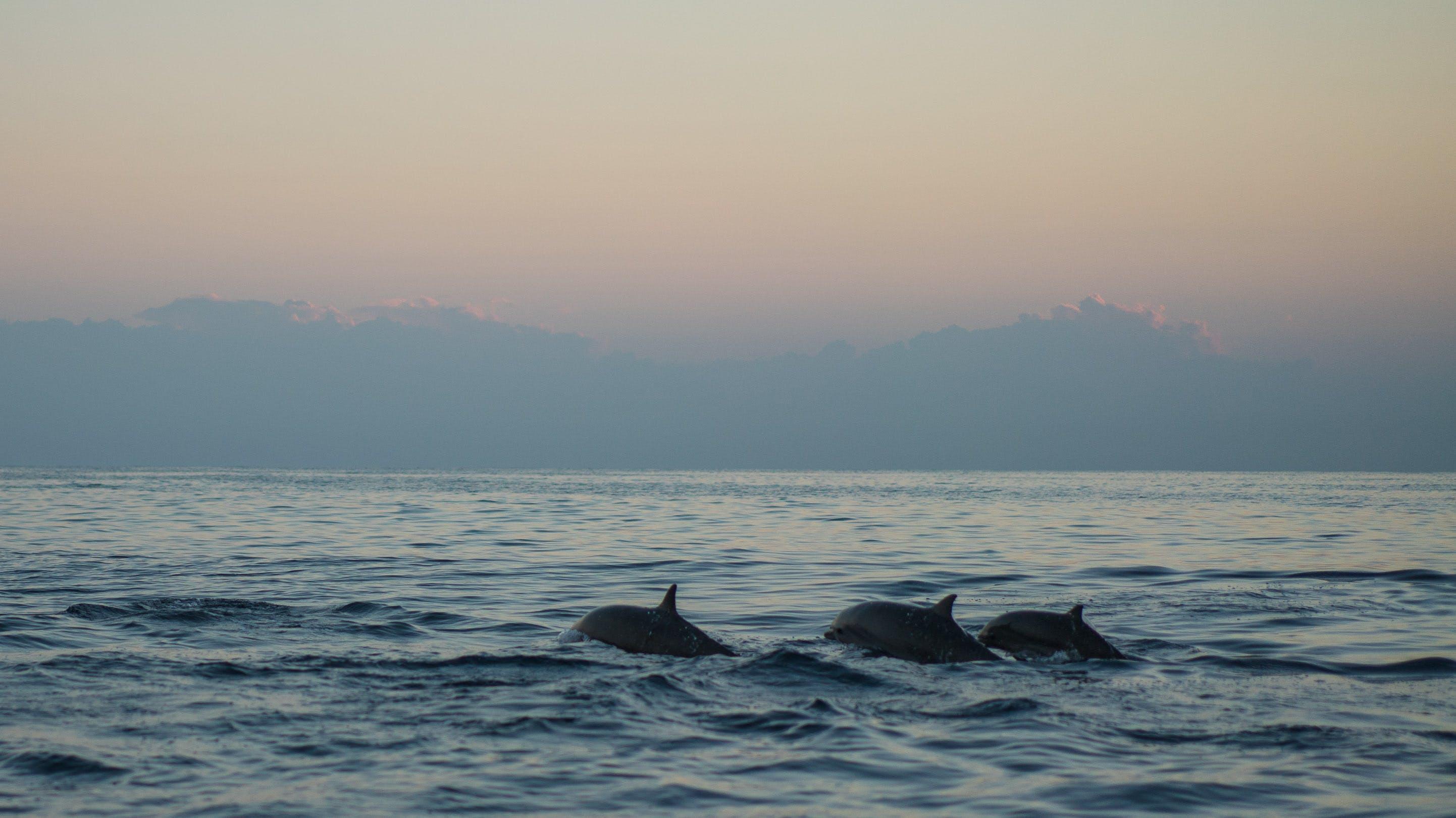 Kostenloses Stock Foto zu baden, dämmerung, delfine, draußen