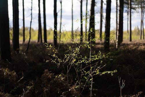 Free stock photo of green, pine trees, pines