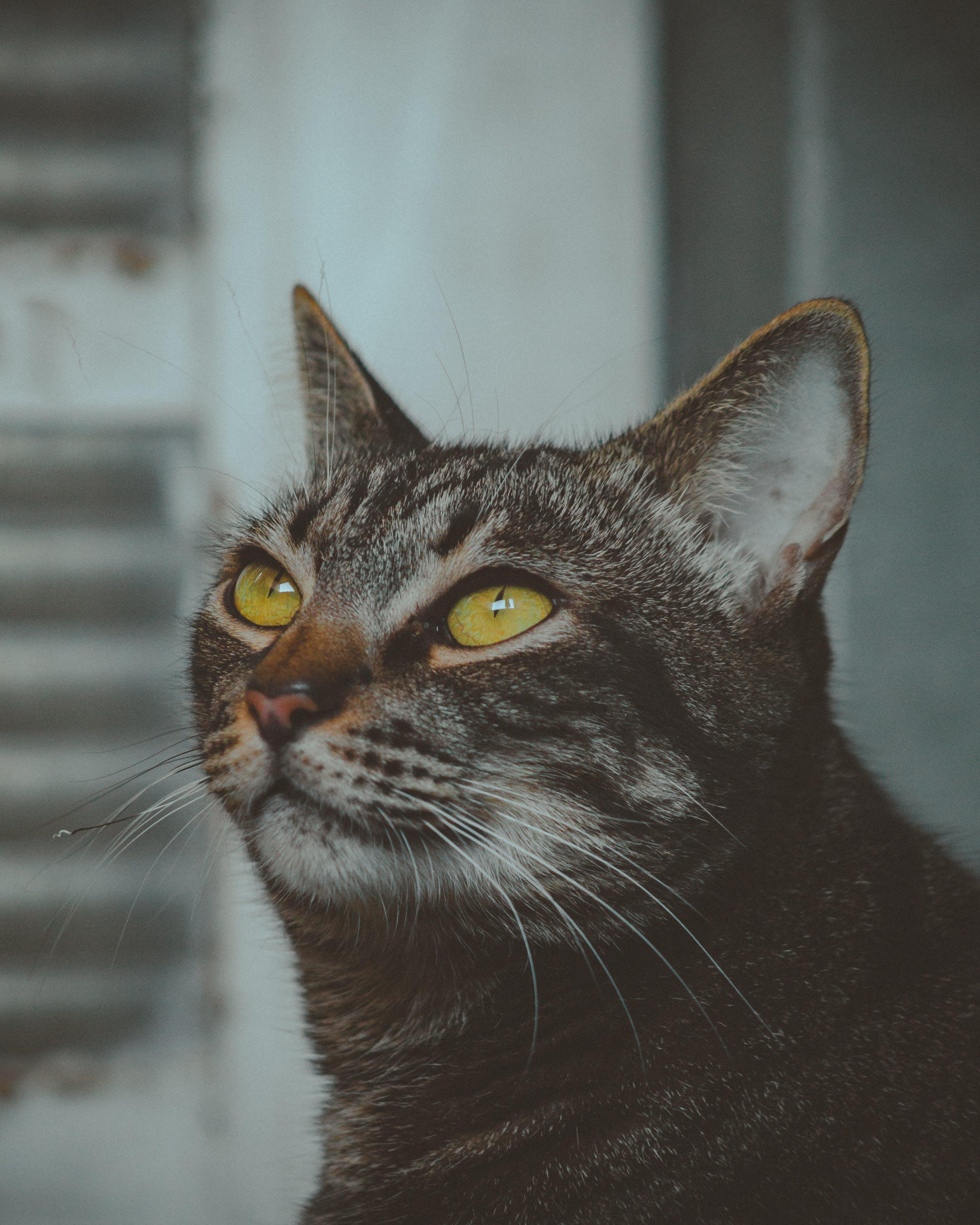 Ảnh lưu trữ miễn phí về con mèo, con vật, dễ thương, lông thú