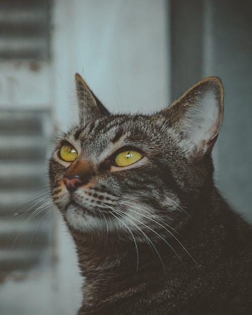 고양이, 귀여운, 그레이, 눈의 무료 스톡 사진