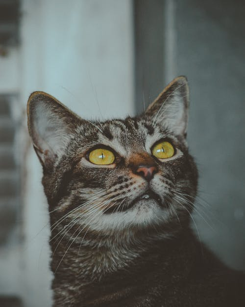 Close-up Photography of Black Tabby Cat