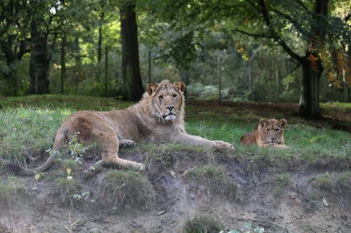 Free stock photo of animal, carnivore, cub