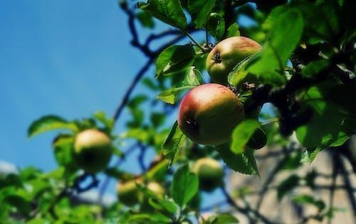 Darmowe zdjęcie z galerii z apple, błękitne niebo, drzewa, drzewo