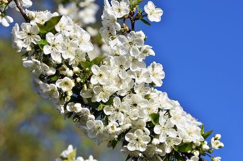 Gratis arkivbilde med blomster, epleblomst, epletre