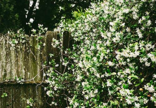 Ilmainen kuvapankkikuva tunnisteilla aita, jasmiini, kasvikunta, kasvu
