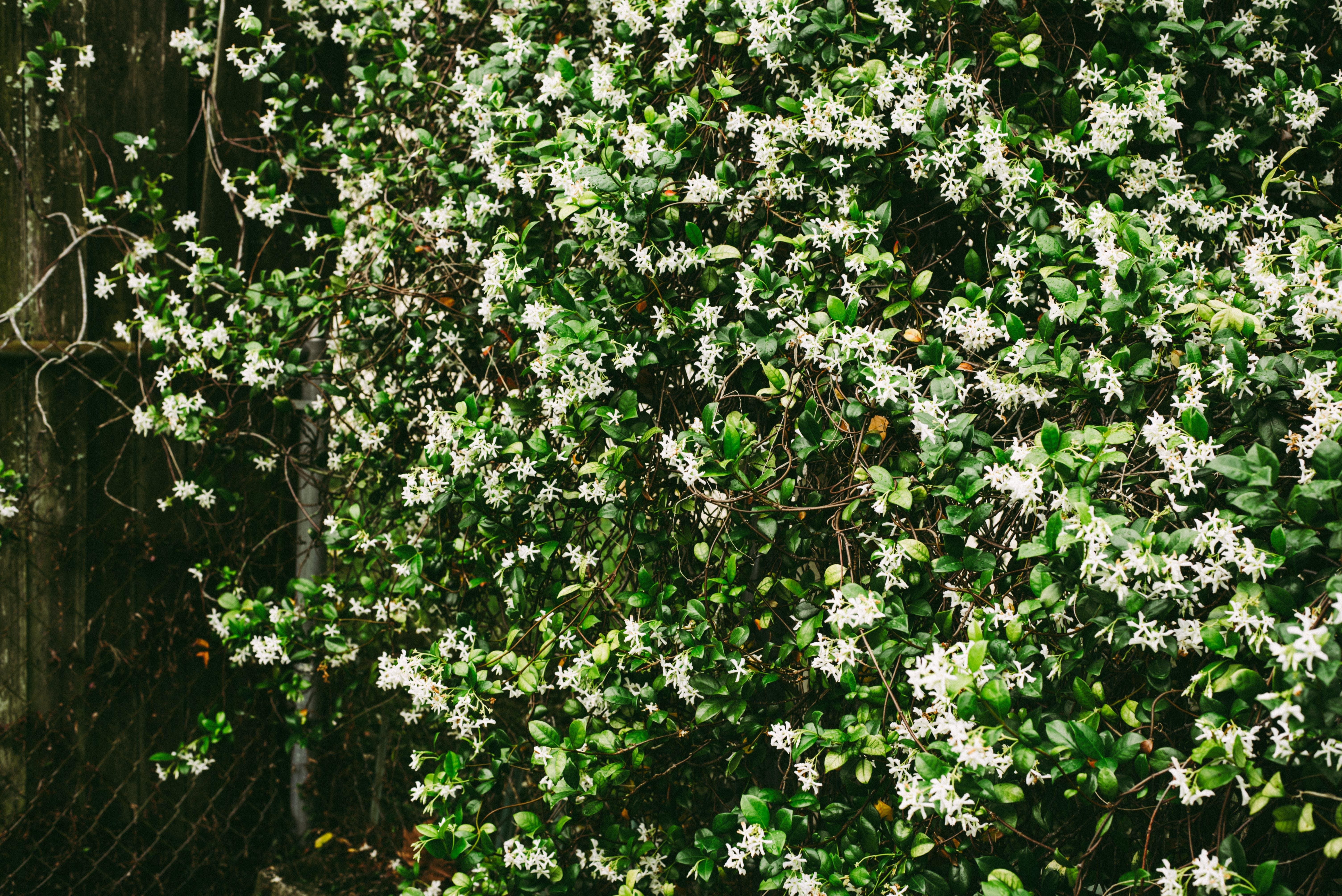 Ingyenes stockfotó fehér virágok, jázmin, szabadban, természet témában