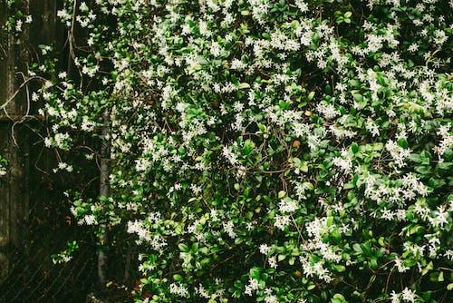 Free stock photo of blooming jasmine, flowering bush, flowering plant, flowers