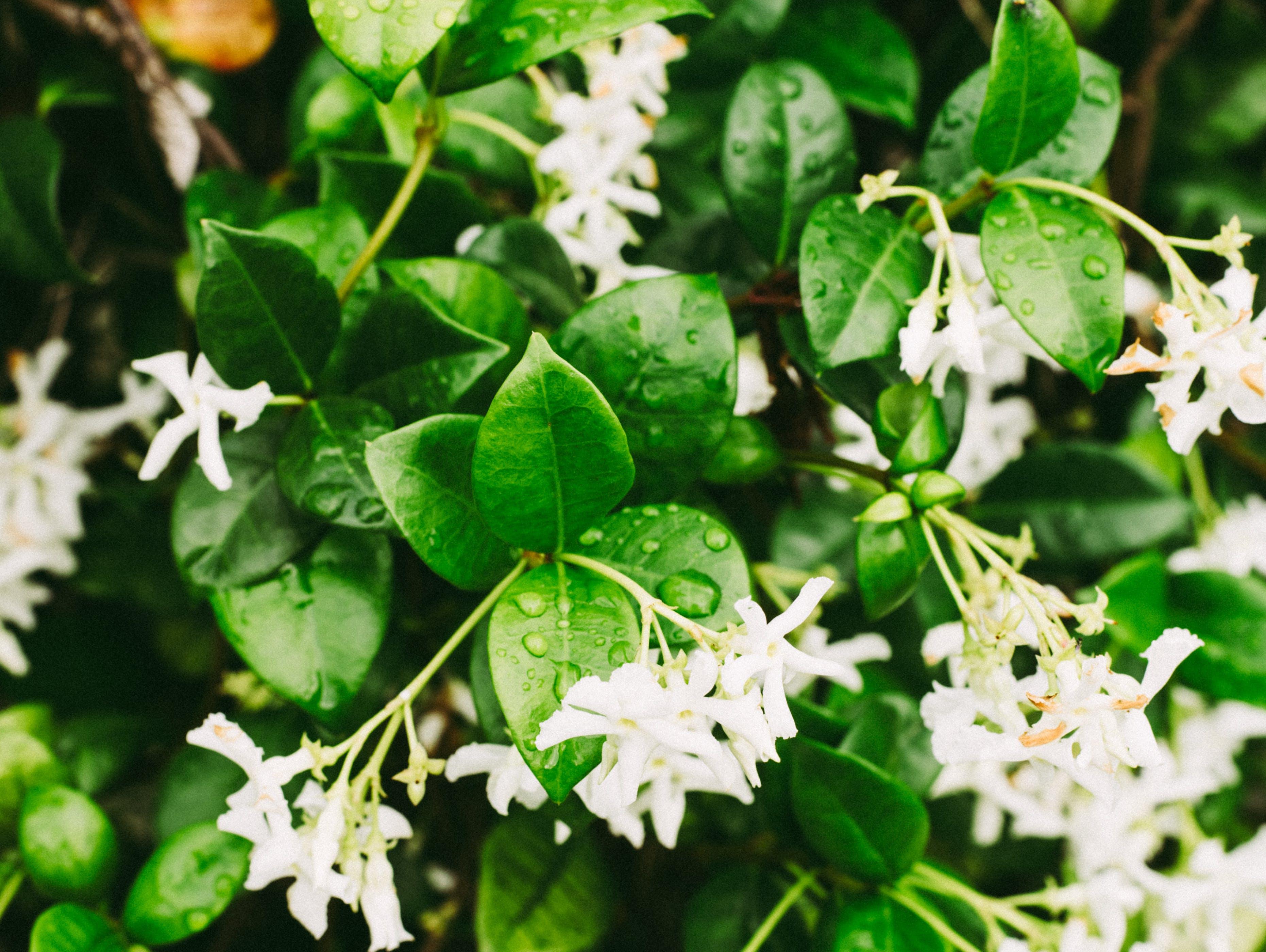 Ingyenes stockfotó jázmin, szabadban, természet, virág bush témában