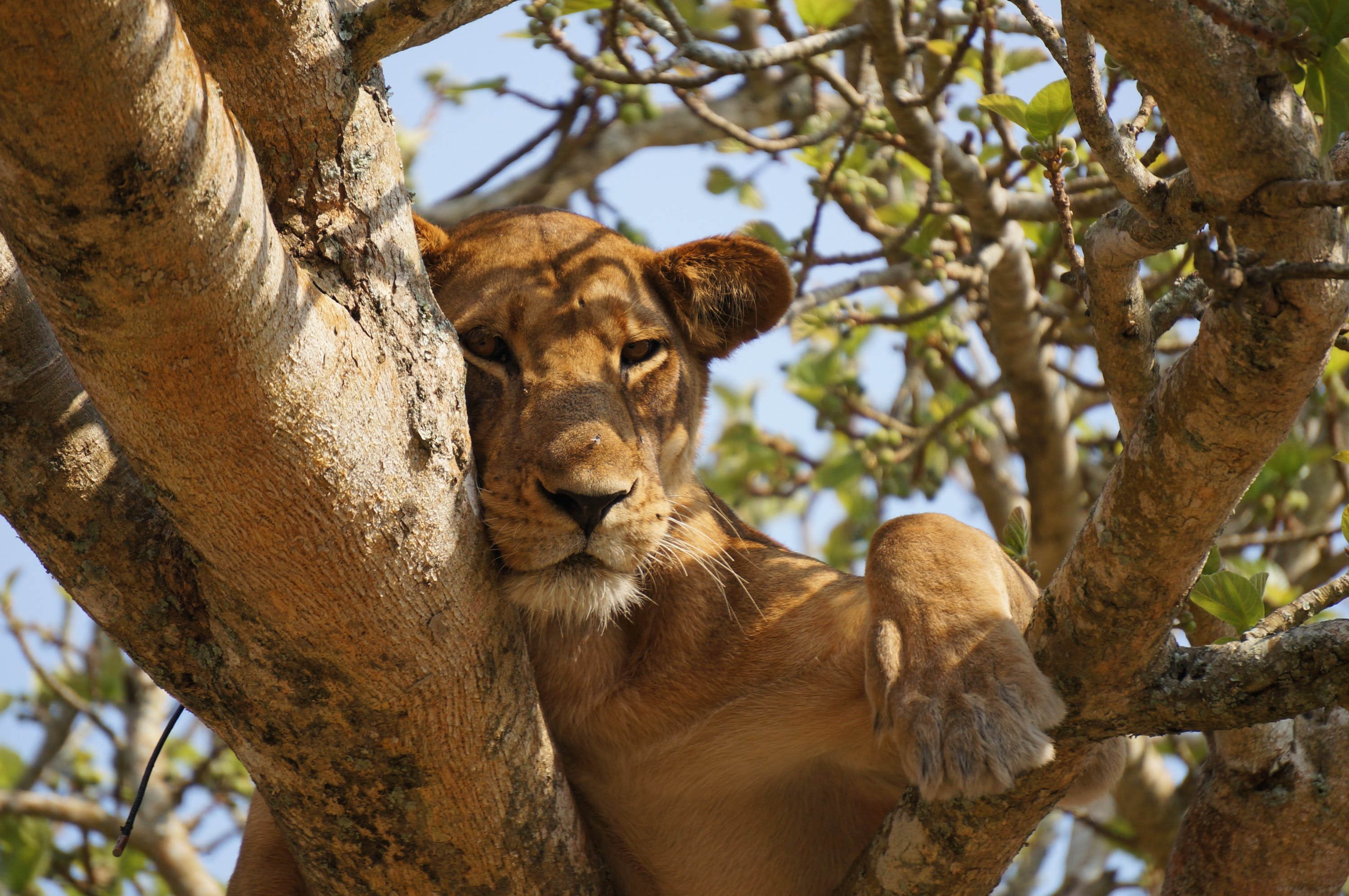 Brown Lioness on Tree Branch