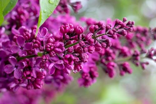 Free stock photo of flowers, lilacs, purple