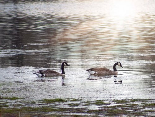 Free stock photo of geese, pond, spring