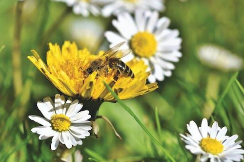 Gratis arkivbilde med bie, blomstereng, honningbie, løvetann
