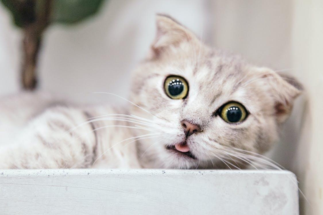 domácí mazlíček, domácí zvíře, kočka
