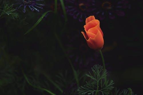 Foto d'estoc gratuïta de amapola de califòrnia, flors, rosella