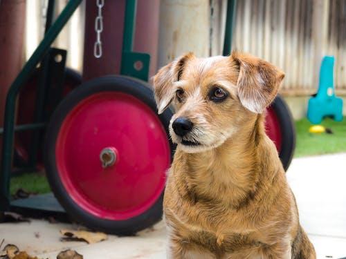 Immagine gratuita di animale, animale domestico, cane, chiaro