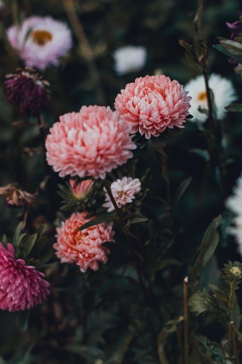 Kostnadsfri bild av blommor, blomning, färg, färgrik