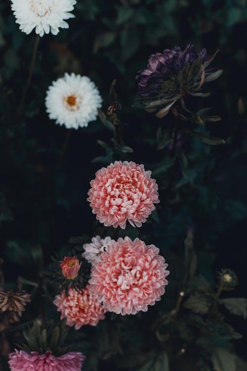 カラフル, フラワーズ, フローラ, 咲くの無料の写真素材