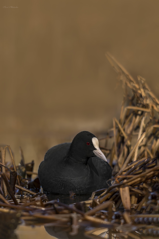 Gratis lagerfoto af and, fjer, fokus, fugl