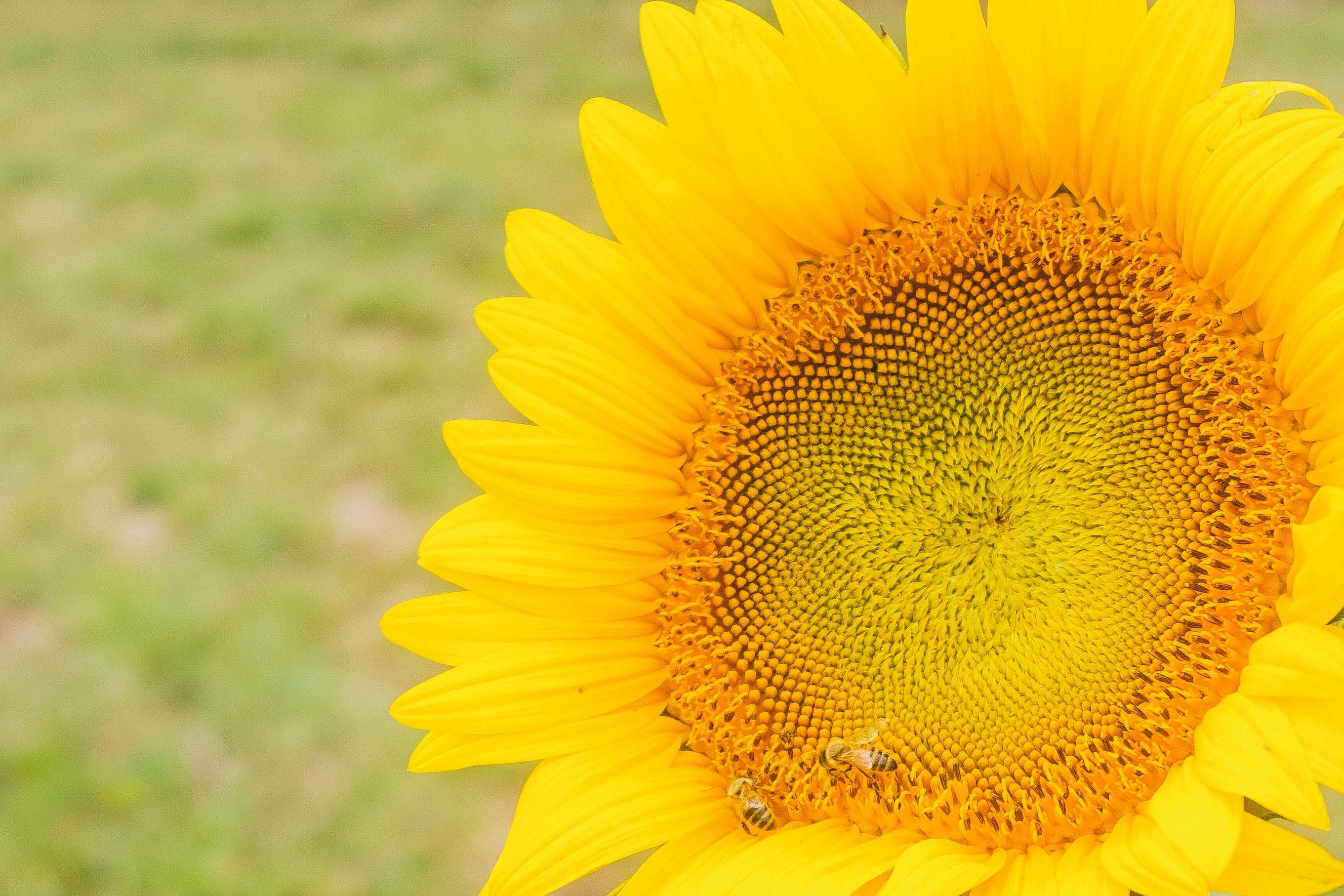 Foto d'estoc gratuïta de #yellow, flor, gira-sol
