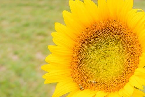 Imagine de stoc gratuită din #galben, floare, floarea-soarelui