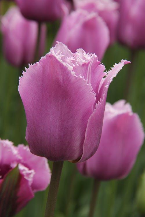 Základová fotografie zdarma na téma tulipány