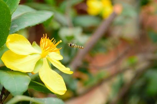 蜜蜂, 黃花 的 免费素材照片