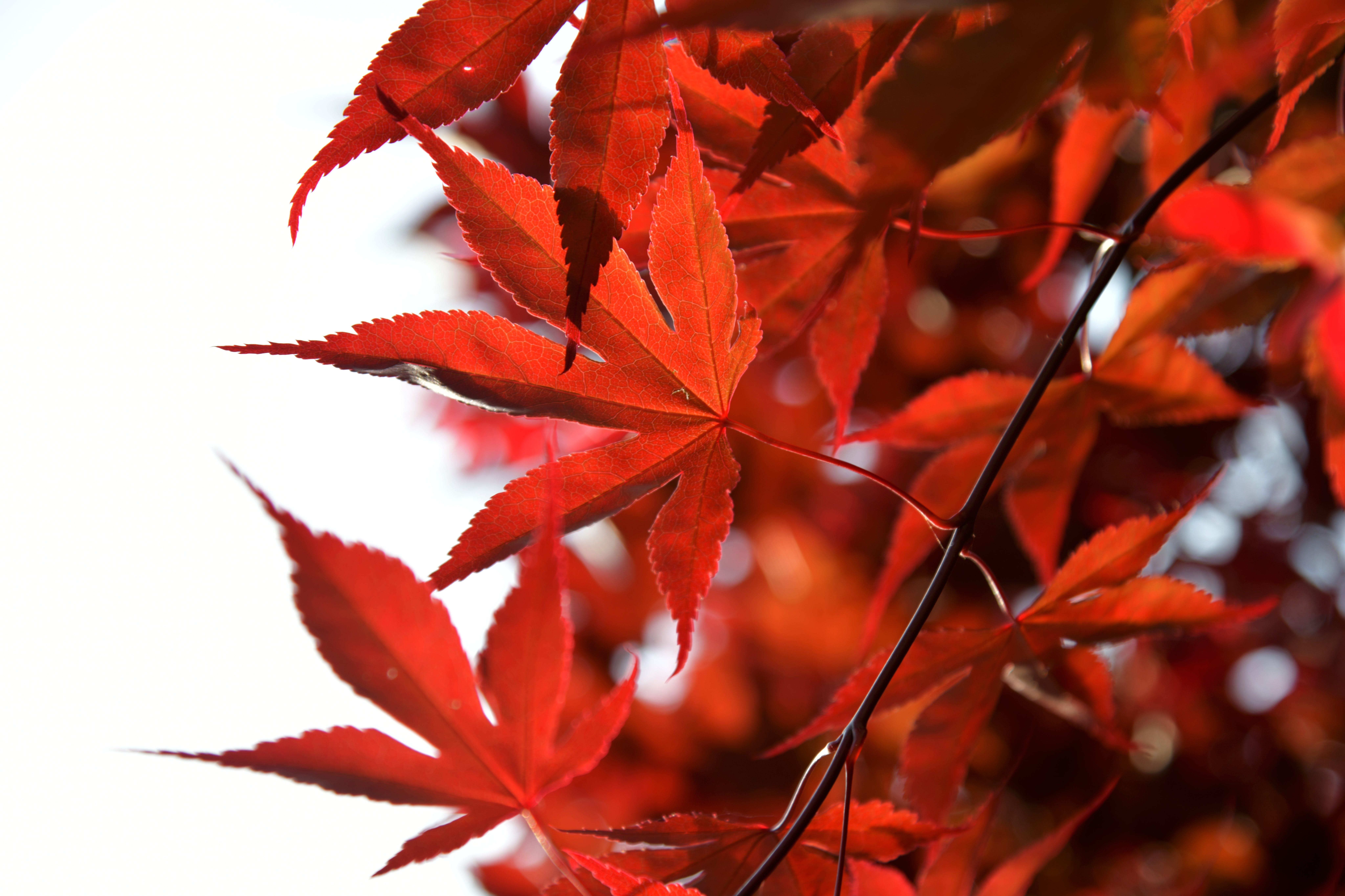 Foto d'estoc gratuïta de arce japonès, arce vermell, auró