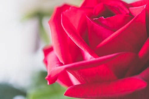 Focus Photography Of Rose