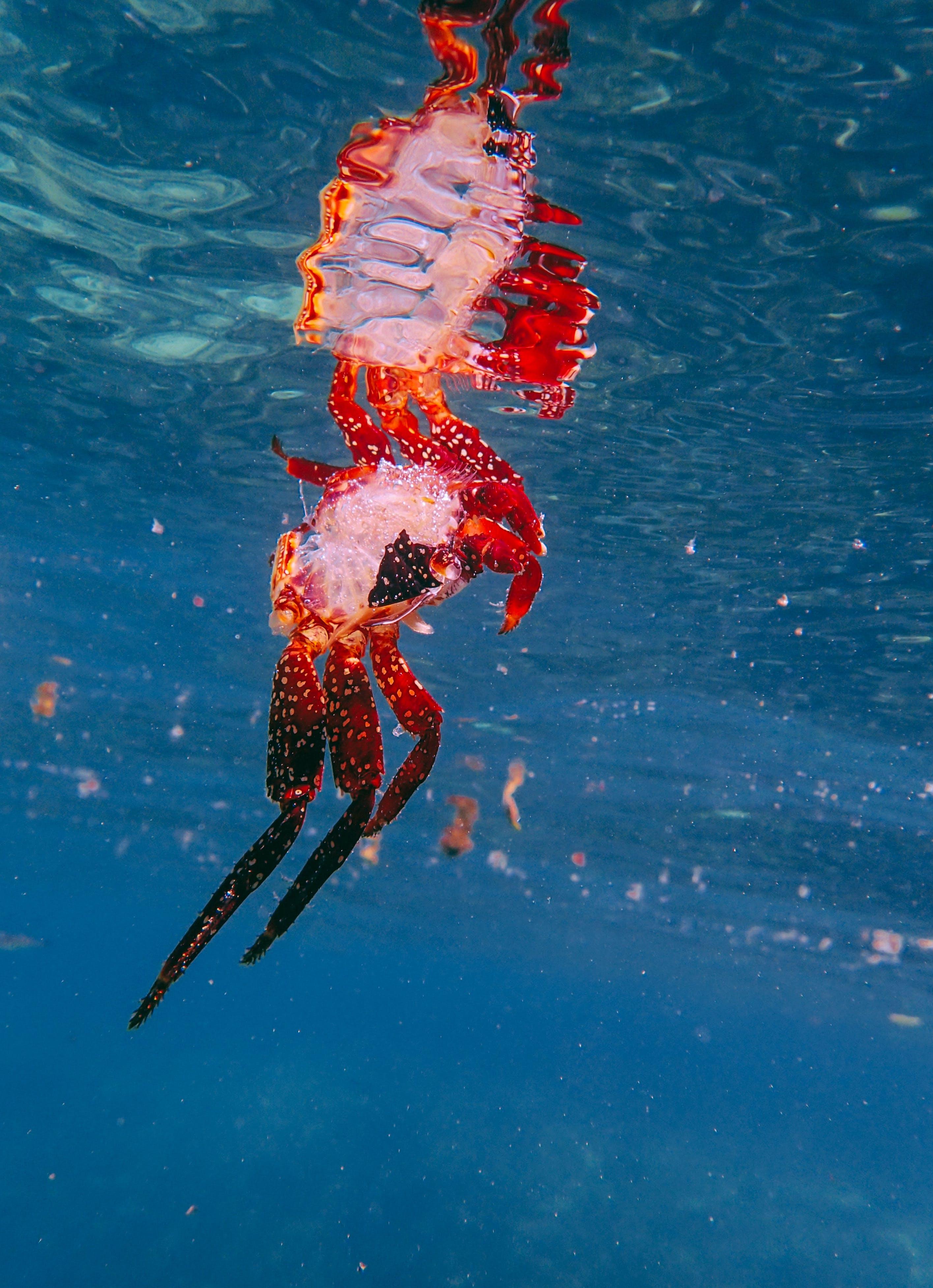 Základová fotografie zdarma na téma krab, moře, oceán, podvodní