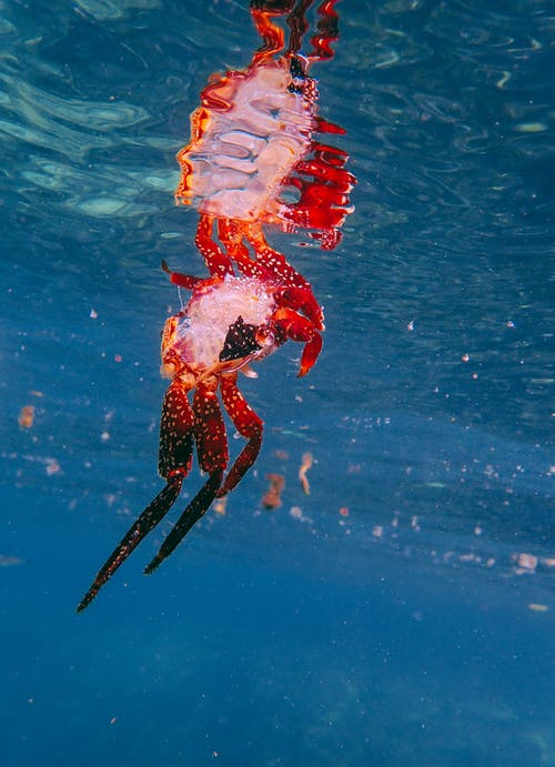 Ảnh lưu trữ miễn phí về biển, con vật, cua, đại dương