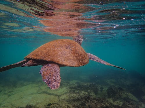 Brown Turtle Swimming On Sea