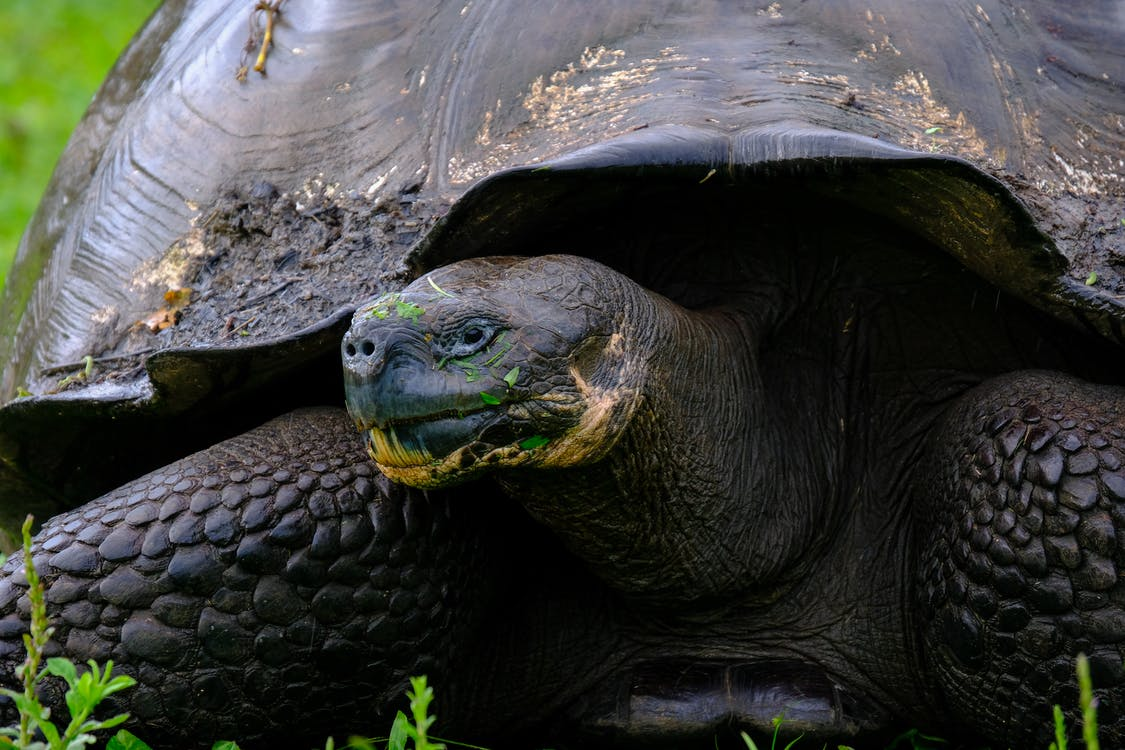 Black Tortoise In Close-up Photography