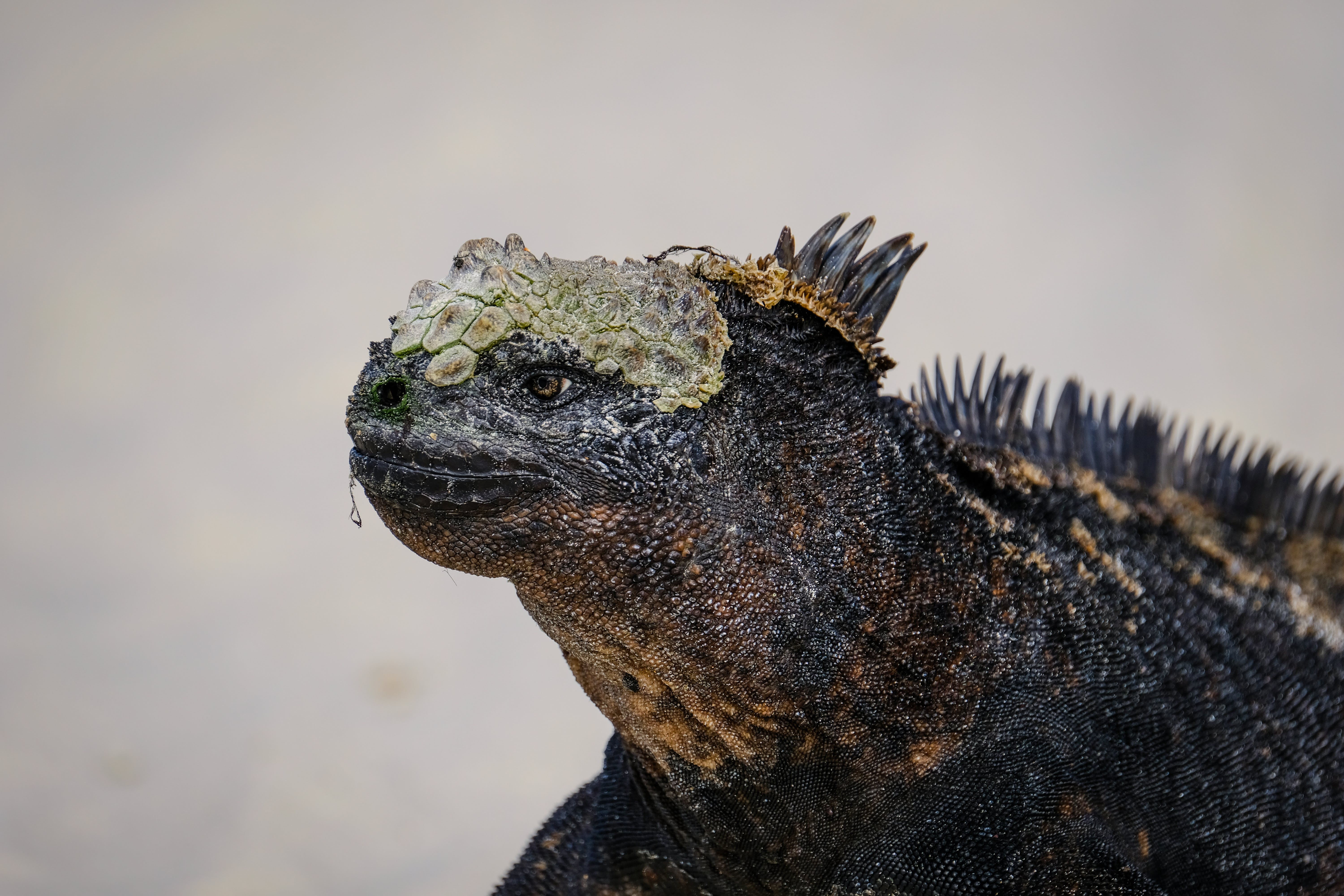Black Iguana In Close-up Photography