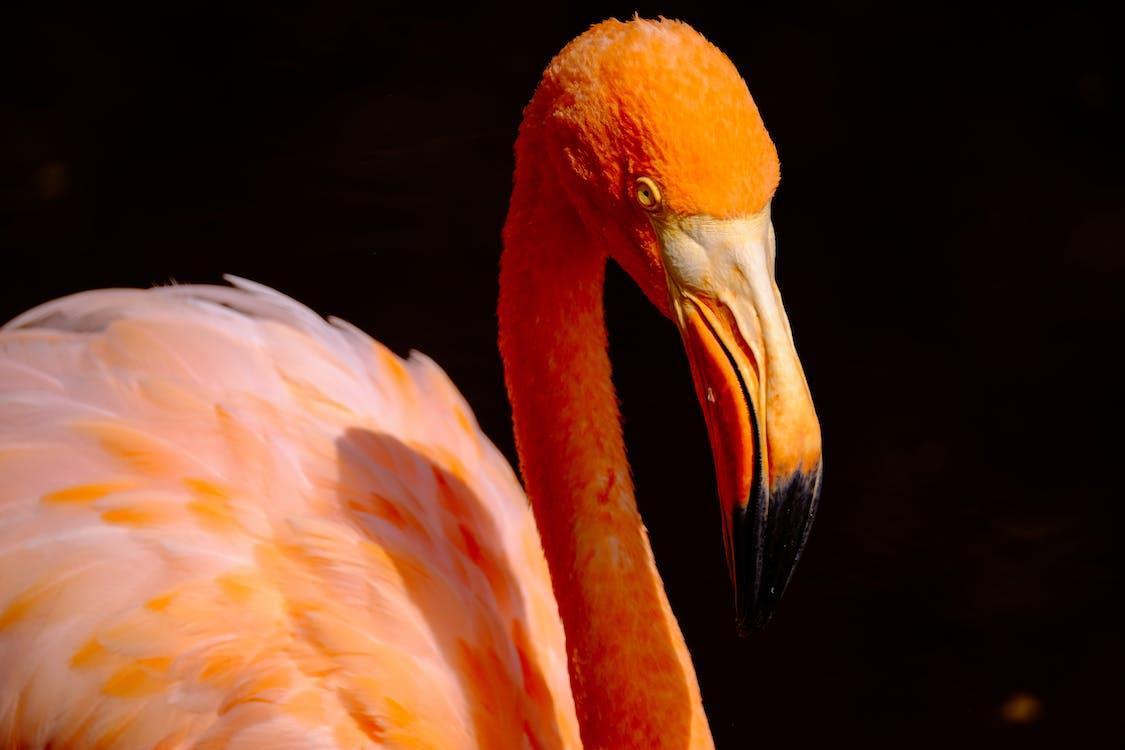 dzika przyroda, flaming, fotografia zwierzęcia