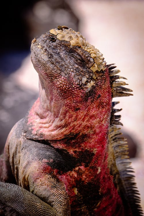 Selective Focus Photograph of Red and Brown Iguana